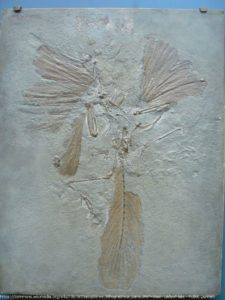 The London Archaeopteryx fossil from Solnhofen.