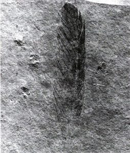 First fossil of Archaeopteryx lithographica